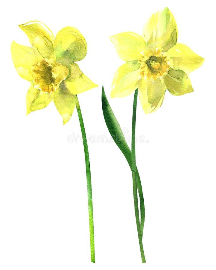 Två gula påskliljor, härliga nya vårpingstliljablommor som isoleras, utdragen vattenfärgillustration för hand på vit royaltyfri illustrationer