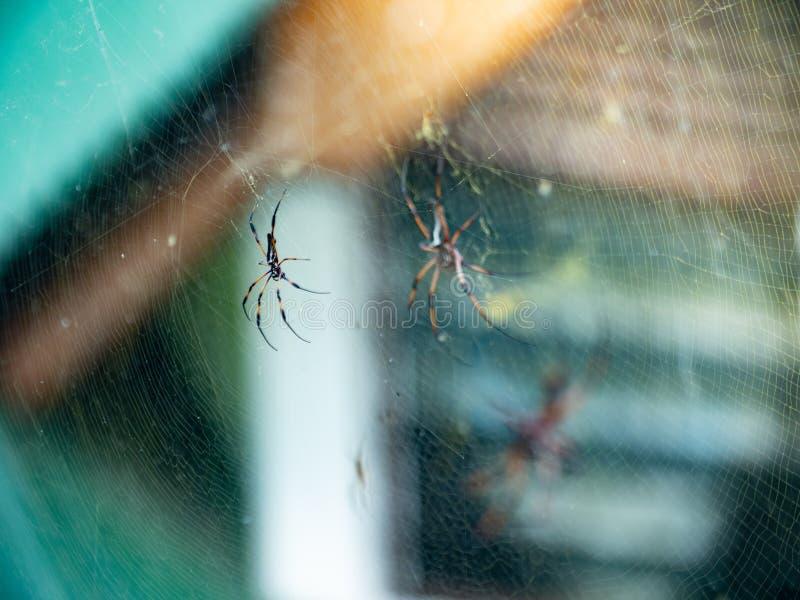 Två guld- Orb-vävare spindlar som sitter på en rengöringsduk i Seychellerna royaltyfri foto