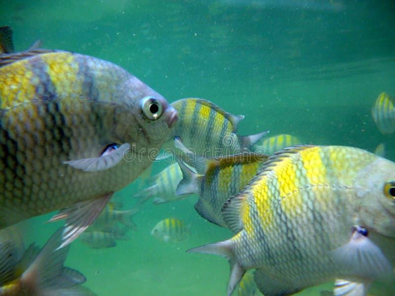 Två guldfisk Brasilien arkivfoto