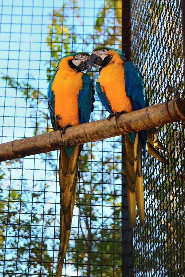 Två guling-blått arapapegoja på en sittpinne royaltyfri foto