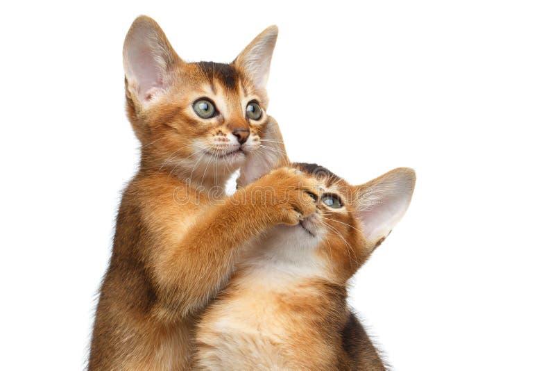 Två gullig Abyssinian Kitten Playing på isolerad vit bakgrund royaltyfri fotografi