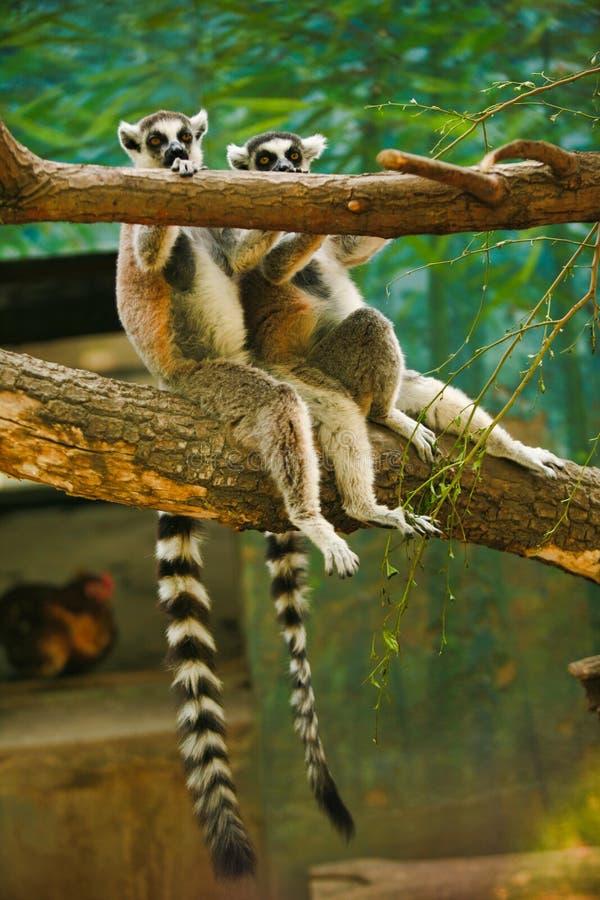 Två gulliga cirkel-tailed makier som sitter på ett träd arkivfoton