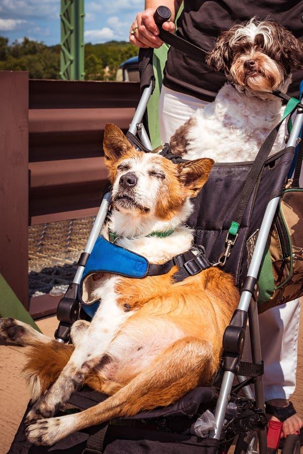Två gulliga hundkapplöpning i solen på en sittvagn royaltyfria bilder