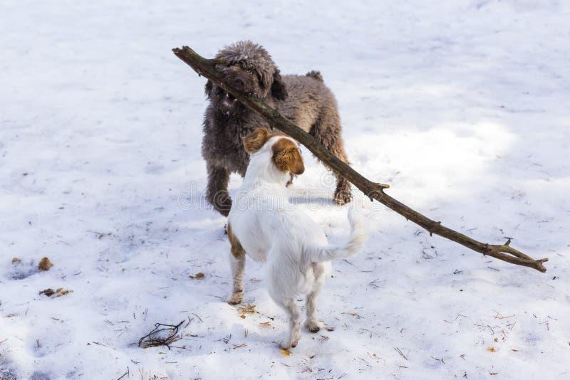 Två gulliga hundkapplöpning på berget i snö som spelar med en stor pinne Husdjur utomhus i vinter arkivbilder