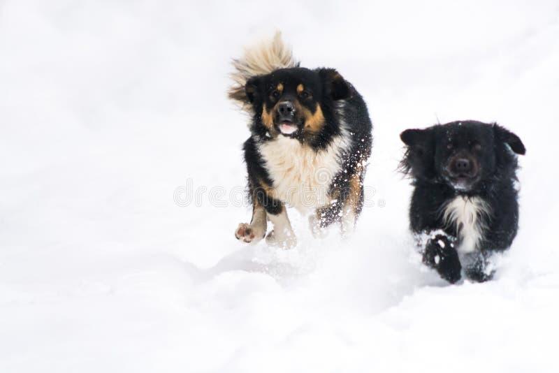 Två gulliga hundkapplöpning som kör i snön på vintern arkivfoton