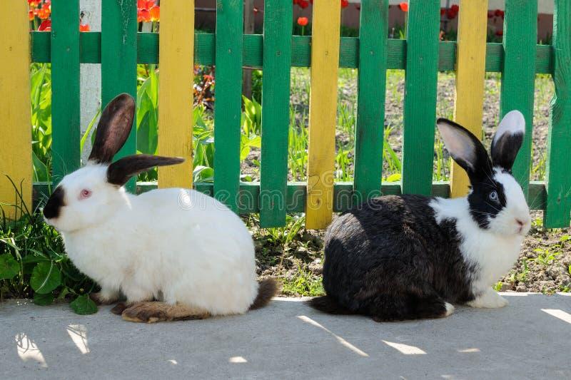 Två gulliga kaniner på bakgrund av detgräsplan staketet och röd tul royaltyfria bilder