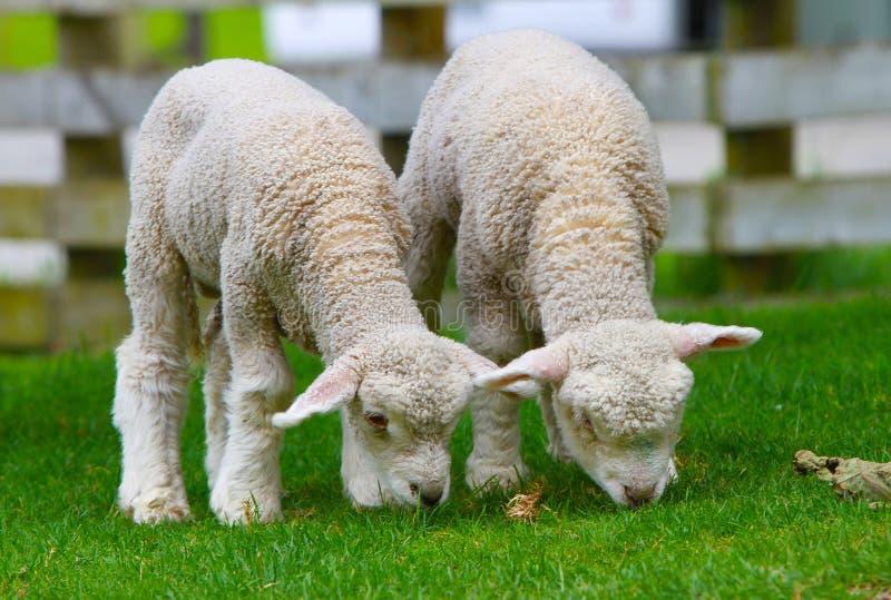 Två gulliga lamm arkivfoton