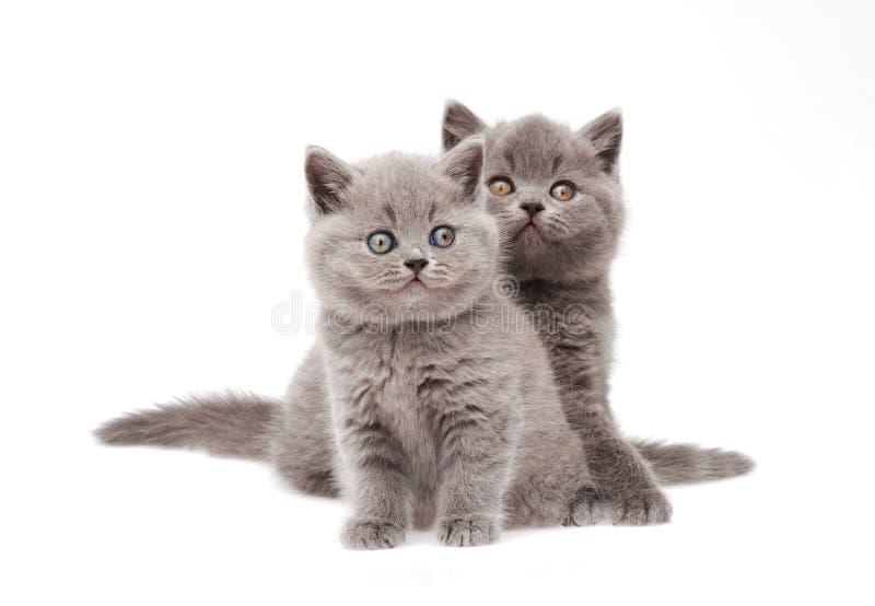 Två gulliga lilla brittiska kattungar royaltyfri fotografi