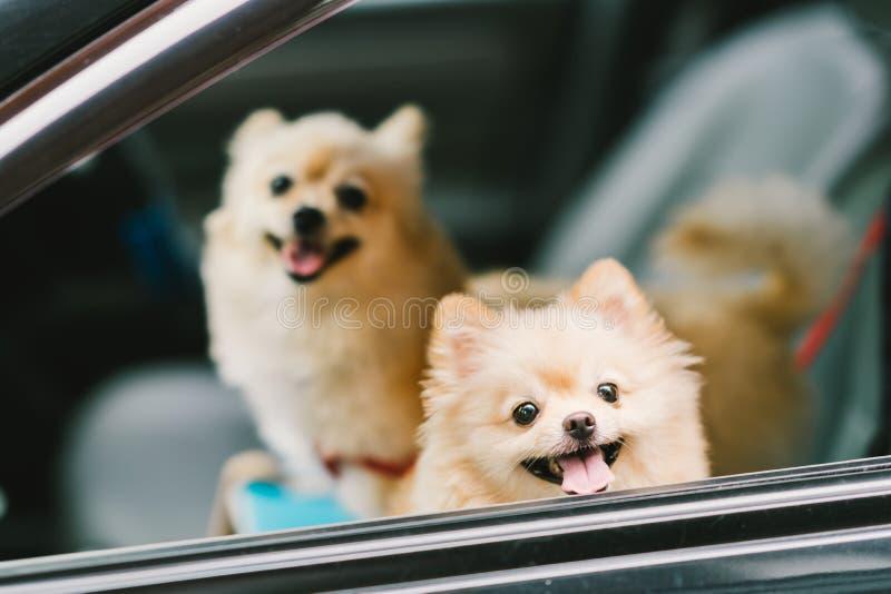 Två gulliga pomeranian hundkapplöpning som ler på bilen och att gå för lopp eller utflykt Älsklings- liv- och familjbegrepp arkivbild