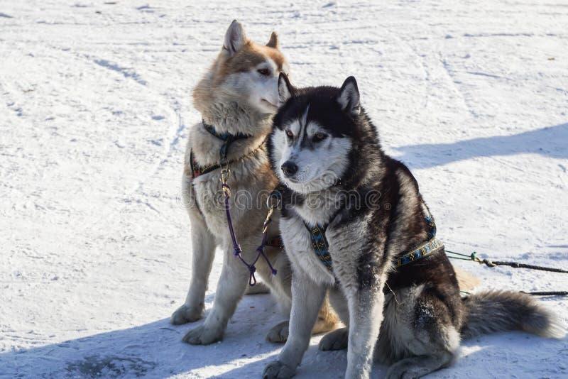 Två gulliga Siberian skrovliga hundkapplöpning sitter i lantgård för hundpulka i vinter royaltyfri foto
