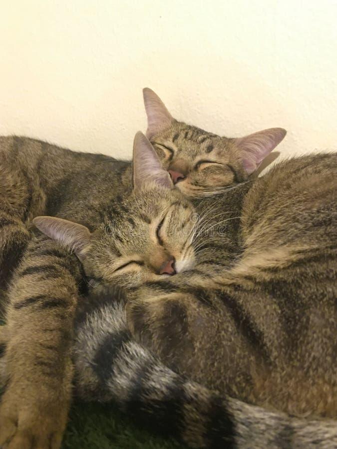 Två gulliga sova katter royaltyfri bild
