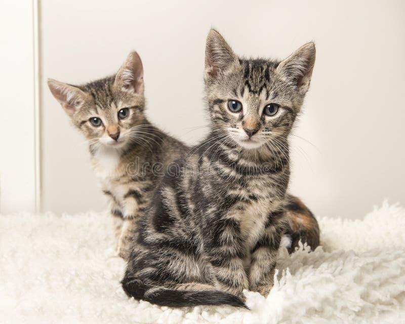 Två gulliga strimmig kattkattungar som sitter bak de på en grå färg och arkivbild