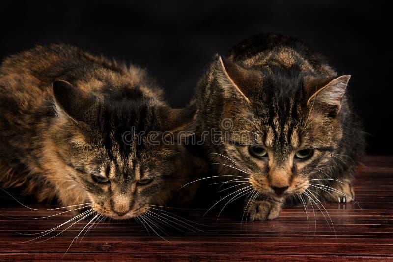 Två gulliga strimmig kattkattungar som sitter på golvet royaltyfri bild