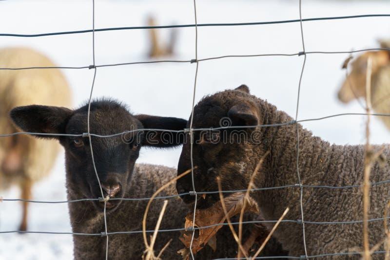 Två gulliga svarta lamm bak ett trådstaket royaltyfria foton