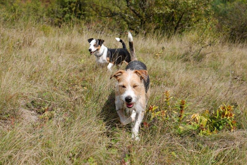 Två gulliga terrier i natur royaltyfri fotografi