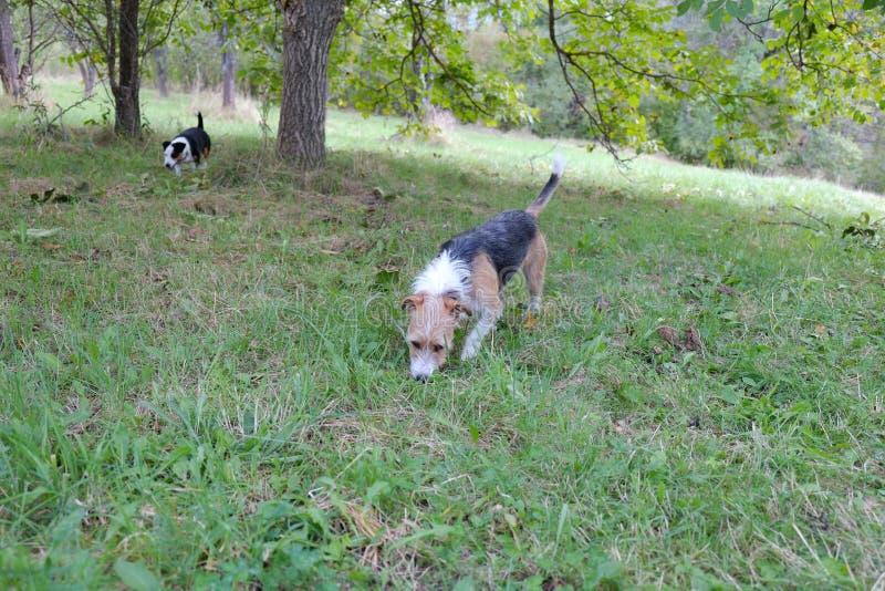 Två gulliga terrier i natur arkivfoton