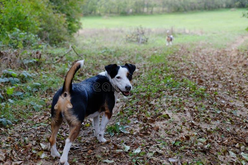 Två gulliga terrier i natur fotografering för bildbyråer