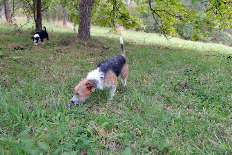 Två gulliga terrier i natur royaltyfria foton