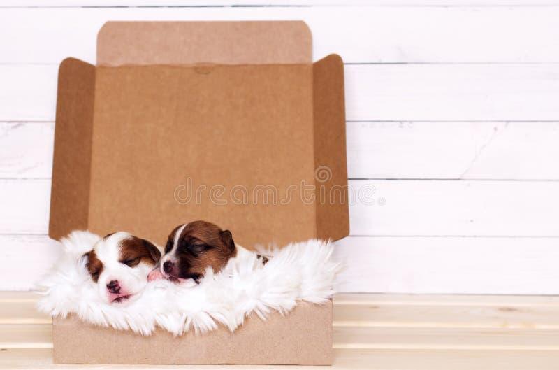 Två gulliga valpar som sover i en gåvaask arkivbild