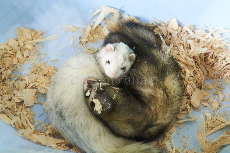 Två gulliga vesslor som sover i träsågspån royaltyfria bilder