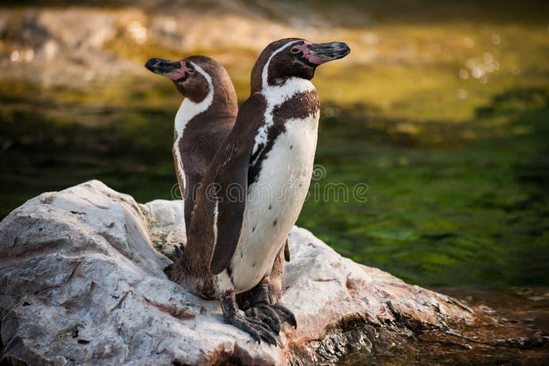 Två gulnar synade pingvin som står på, vaggar royaltyfri foto