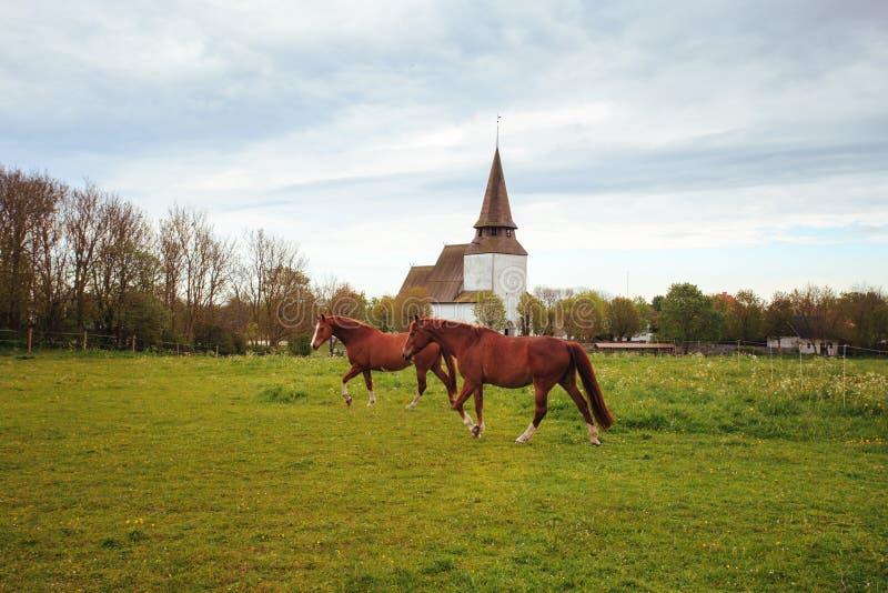 Två härliga hästar betar i en äng i Sverige Mot bakgrunden av den gamla katolska kyrkan royaltyfri fotografi