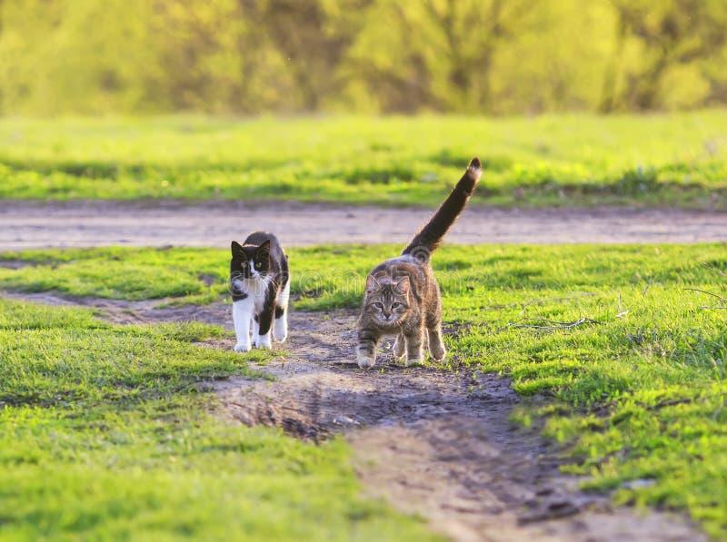 Två härliga unga katter som glatt körs till och med en grön vårmjöd arkivbild