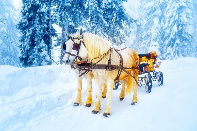 Två härliga vita hästar i bergvinterlandskap royaltyfri foto