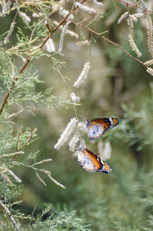 Två härliga vita och bruna fjärilar som hänger från den vita blomningen av att blomma det mjuka gröna trädet royaltyfri bild