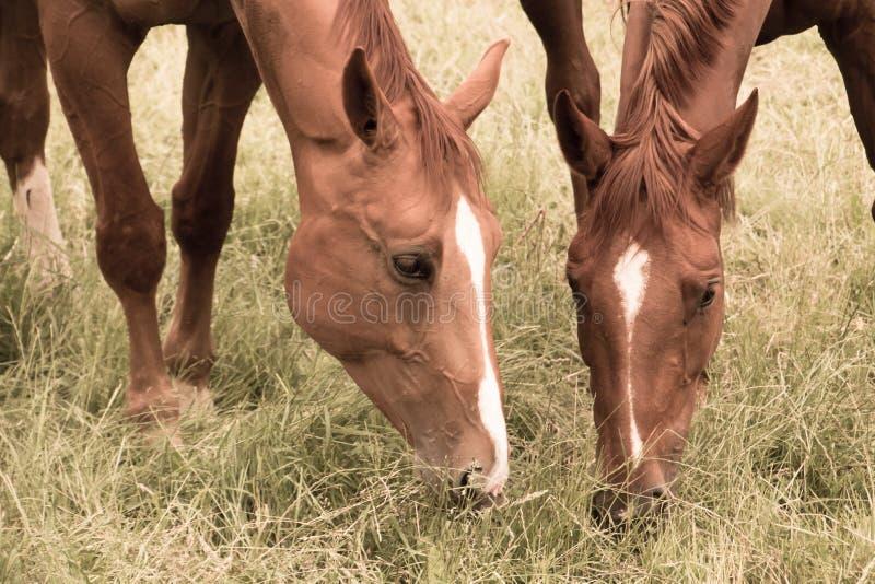 Två hästar äter gräs i betar arkivbild