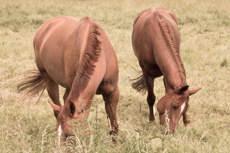 Två hästar äter gräs i betar arkivbilder
