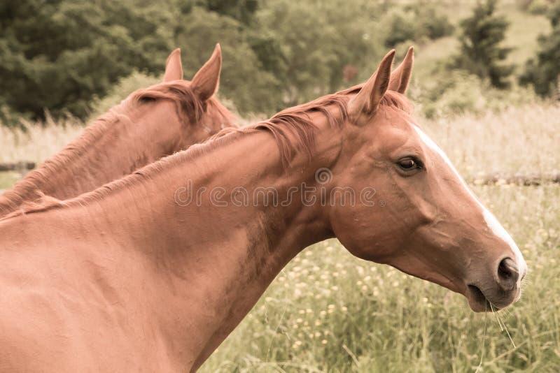 Två hästar äter gräs i betar arkivfoton