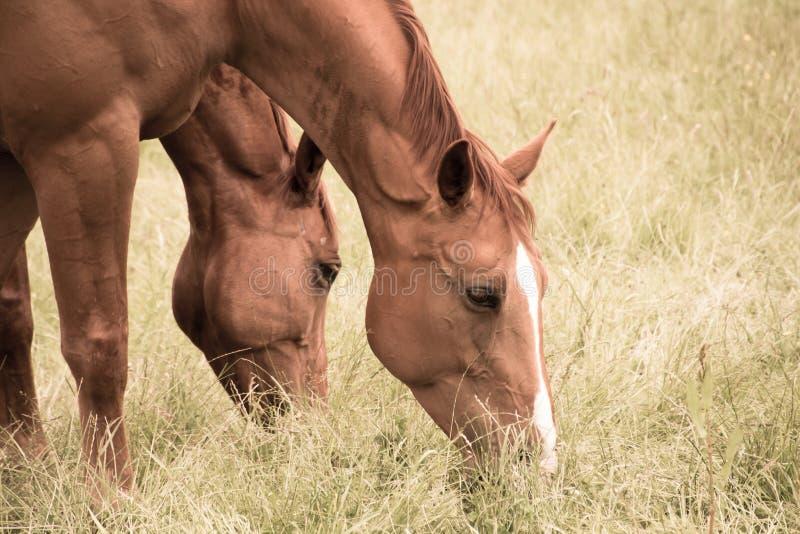 Två hästar äter gräs i betar royaltyfria foton