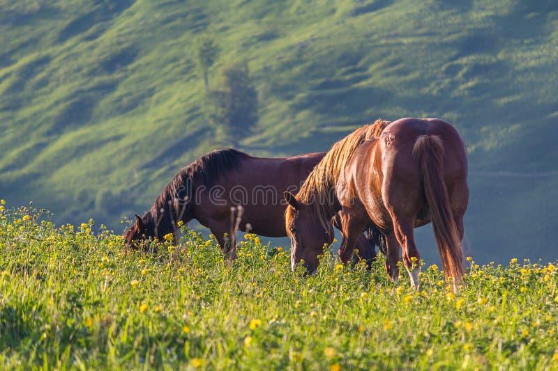 Två hästar betas på bergslätten som tänds med solen royaltyfria bilder