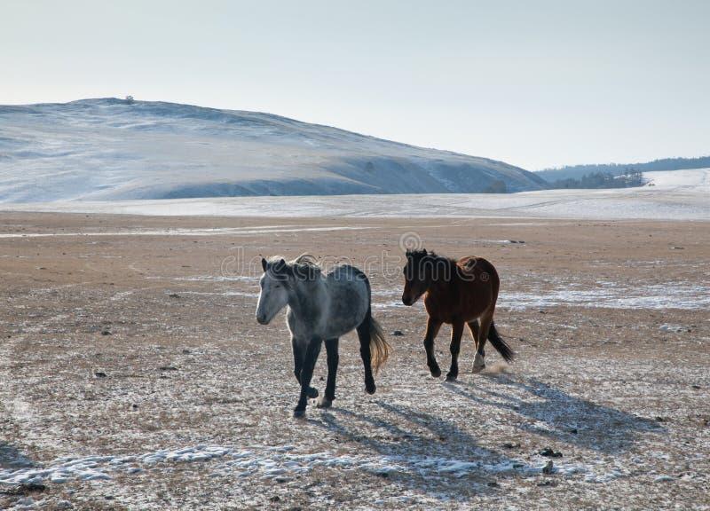 Två hästar galopperar över öppna utrymmena av den Olkhon ön royaltyfri bild