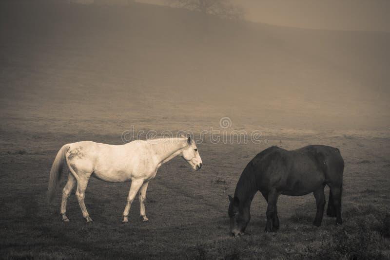 Två hästar i djup dimma arkivfoton