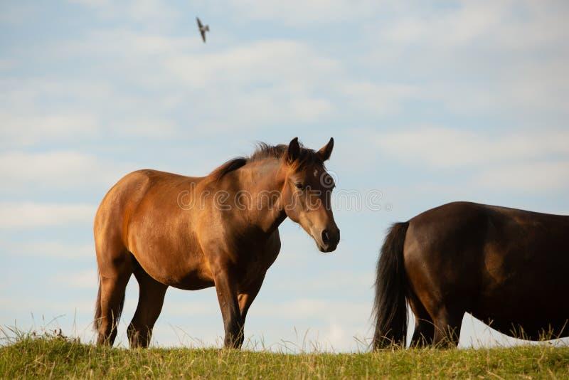 Två hästar i en sommar betar, i bygden royaltyfri bild