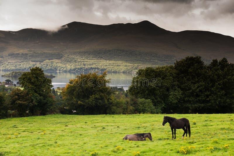 Två hästar i ett fält i cirkeln av Kerry, Irland arkivfoton