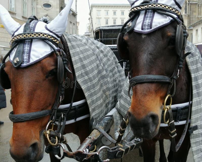 Två hästar i oket, slut upp royaltyfri fotografi