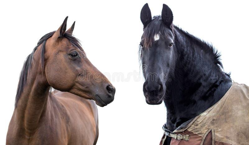 Två hästar på en vit fotografering för bildbyråer