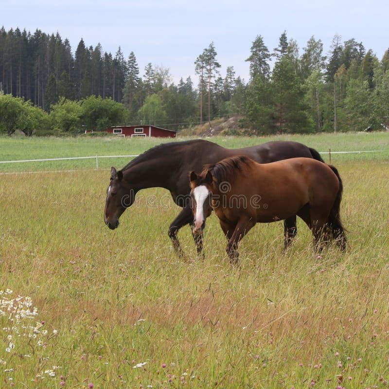Två hästar på fältet som tycker om sommaren royaltyfri fotografi