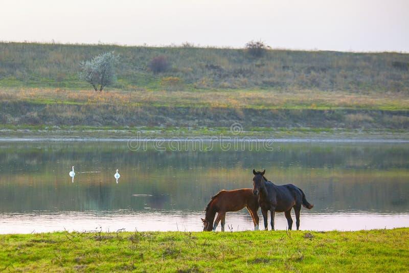 Två hästar på flodkusten arkivbild