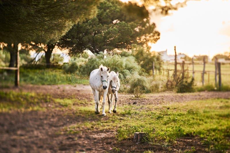 Två hästar på solnedgången arkivbilder