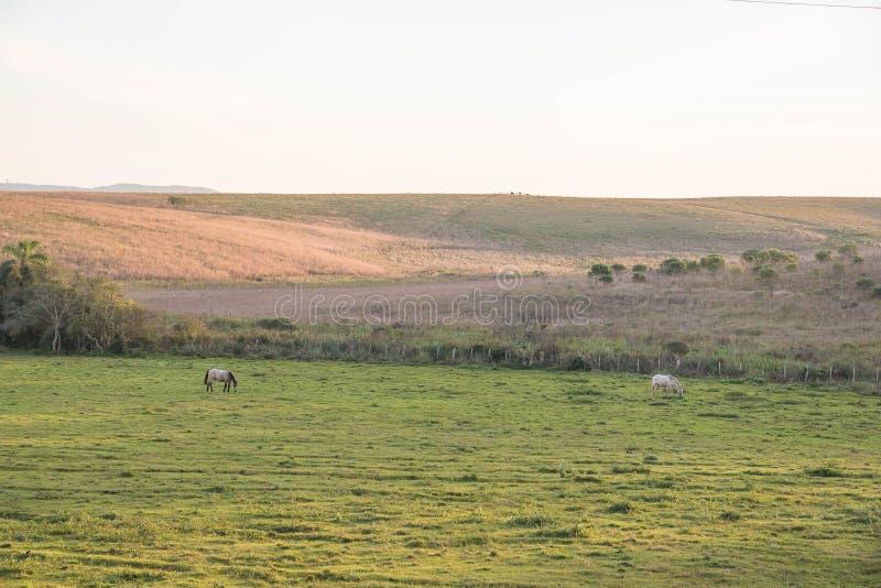 Två hästar som betar på vinters gryning 02 royaltyfri bild