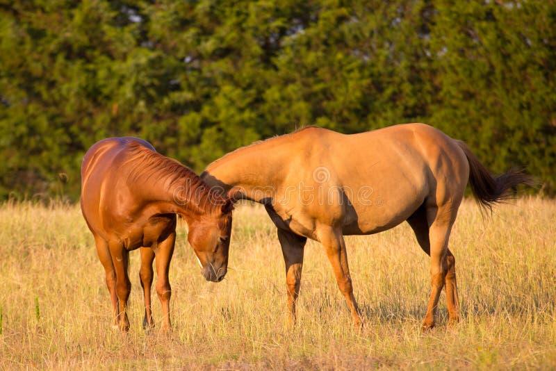 Två hästar som hälsar sig royaltyfria bilder