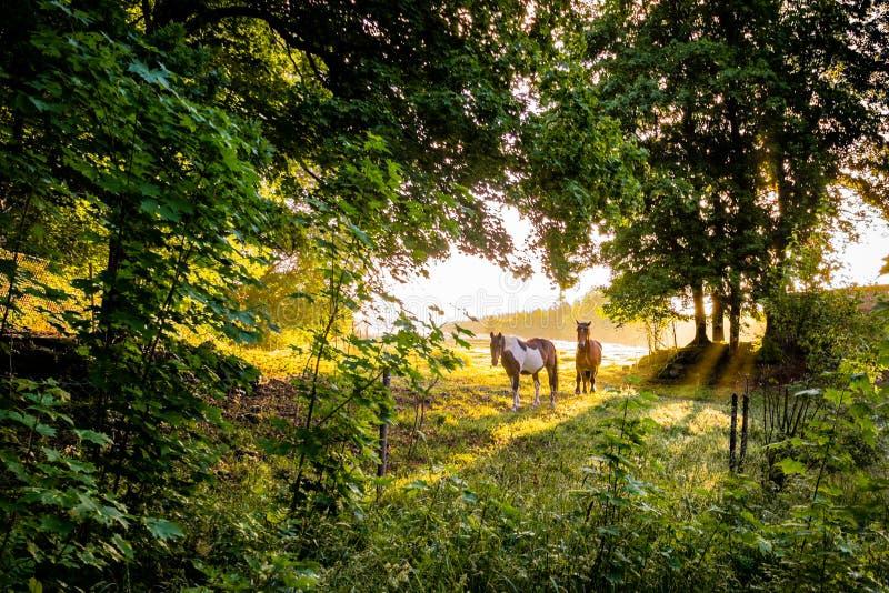 Två hästar som står i en grön glänta i solnedgången arkivbild