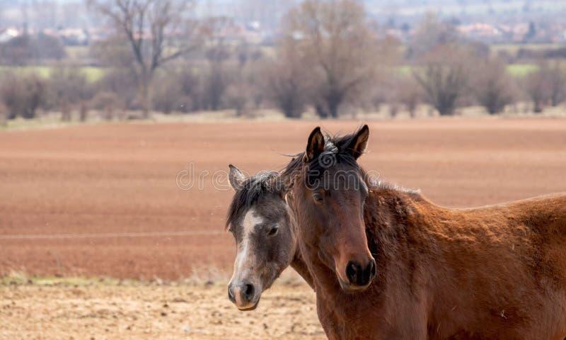 Två hästar står i ett brunt höstfält nästan, två hästhuvud är nära upp arkivfoton