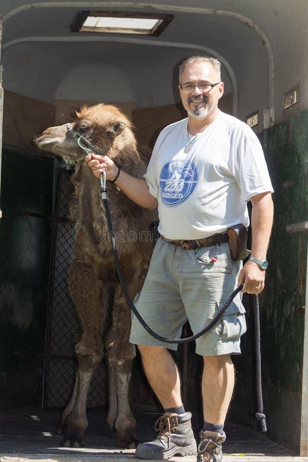 Två-ha sex med gå för kamel (Camelusbactrianus) royaltyfria foton