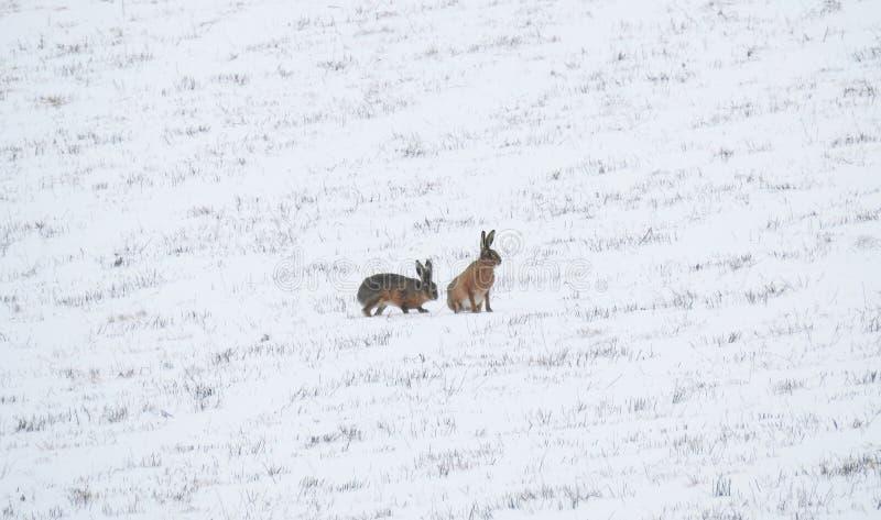 Två hare i snön royaltyfri bild