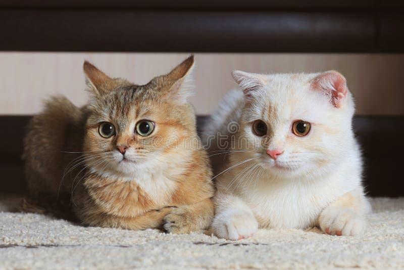Två hem- katter royaltyfria bilder